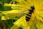 Hoverfly on Asteraceae